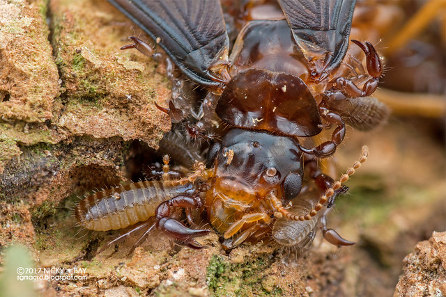 Termite with pseudoscorpions (Pseudoscorpionida) - DSC_9269