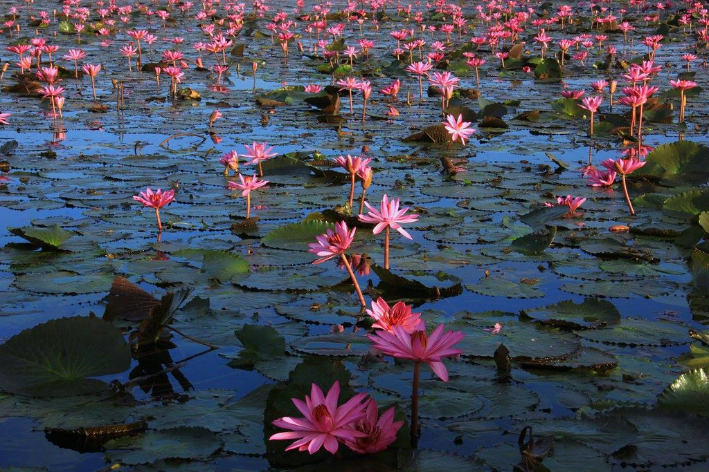 All kinds of water lilies including lotus is called bua in Thai