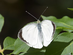 flower(0.0), cabbage butterfly(0.0), bombycidae(0.0), colias(0.0), petal(0.0), arthropod(1.0), pollinator(1.0), animal(1.0), moths and butterflies(1.0), butterfly(1.0), leaf(1.0), wing(1.0), invertebrate(1.0), macro photography(1.0), green(1.0), fauna(1.0), close-up(1.0),