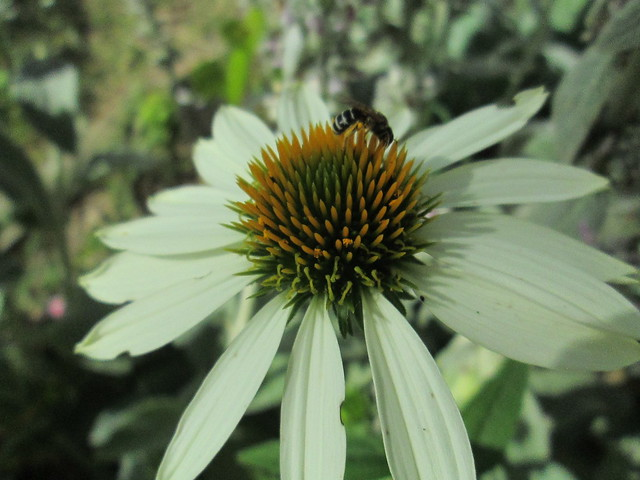 Wasp on a coneflower