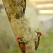 Lesser Goldenback (Pradeep Singh, Sunderban Extension)