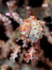 Bargibanti pygmy seahorse by Randi Ang