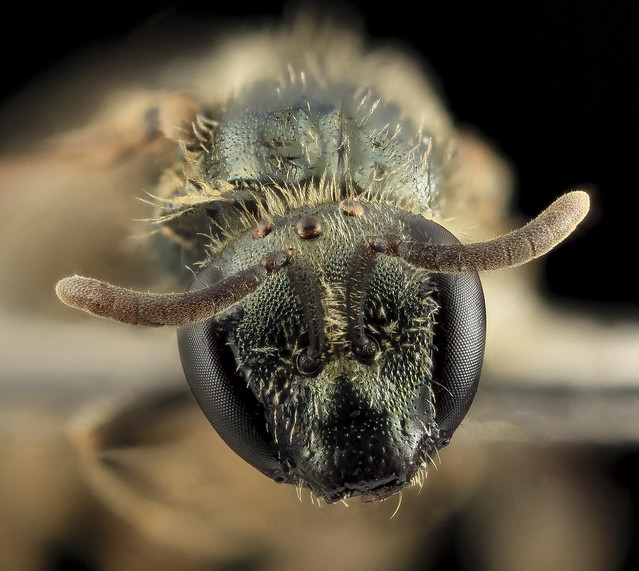 Lasioglossum georgeickworti, F, Face, NY, Queens_2014-04-22-14.24.47 ZS PMax