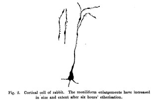 Fig. 2 from H. Wright, 'The Action of Ether and Chloroform on the Neurons of Rabbits and Dogs', Journal of Physiology 26 (1-2) (1900), pp. 30-41.