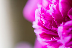 Frilled pink peony
