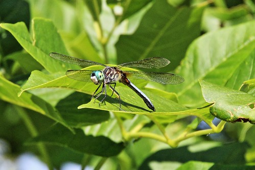IMG_5799_Male_Blue_Dasher_Dragonfly