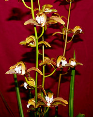 Cymbidium erythraeum species orchid, acquired bare root 2-14, 1st bloom continues   12-16*