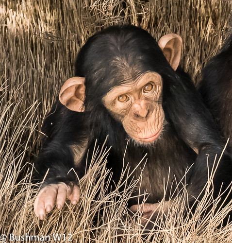 Chimpanzee. The River Gambia National Park