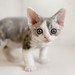 Devon Rex Kitten by peter_hasselbom