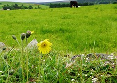 Flower and a cow (Mouse ear hawkweed)