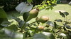 Baby Pears 1