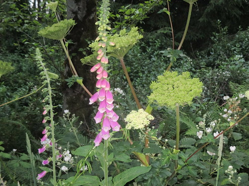 Foxgloves everywhere!