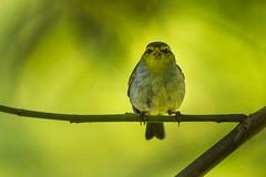 Yellow-throated Wood-Warbler - Malawi_S4E4107