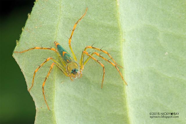 Lynx spider (Hamadruas sp.) - DSC_4922