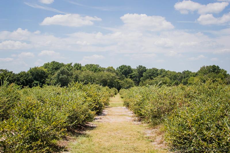 Blueberry Farm Edom TX