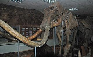 Mammuthus primigenius (woolly mammoth) (Upper Pleistocene, 40 ka; near the Tirekhtyakh River, Siberia, Russia) 1