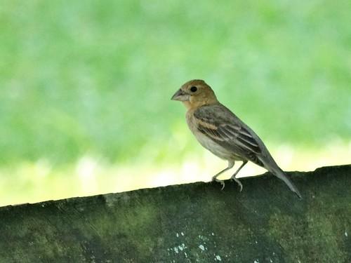 summer bird virginia grosbeak