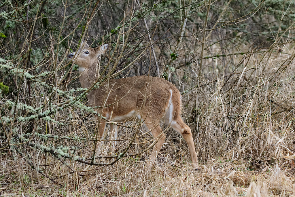 A Columbian white-tailed deer fawn nibbles on some foliage