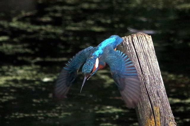 IMGP1883 Kingfisher, Rye Meads, July 2015