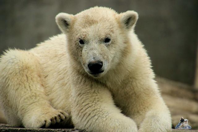 Eisbär Fiete im Zoo Rostock 12.07.2015 0302