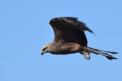 Black - Kite and a house mouse (one way free ride )