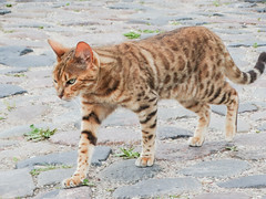 pixie-bob(0.0), manx(0.0), animal(1.0), bengal(1.0), tabby cat(1.0), toyger(1.0), small to medium-sized cats(1.0), savannah(1.0), pet(1.0), european shorthair(1.0), fauna(1.0), cat(1.0), rusty-spotted cat(1.0), wild cat(1.0), carnivoran(1.0), whiskers(1.0), ocicat(1.0), domestic short-haired cat(1.0),