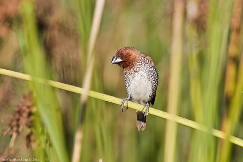 Scaly-breasted Munia (Lonchura punctulata) aka Nutmeg Mannikin