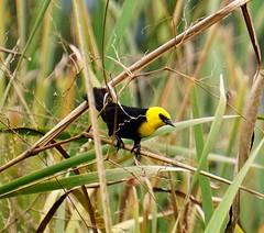 Yellow-hooded Blackbird [Chrysomus icterocephalus]