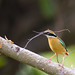 uttampegu posted a photo:	Colourful Indian Pitta colecting nesting material