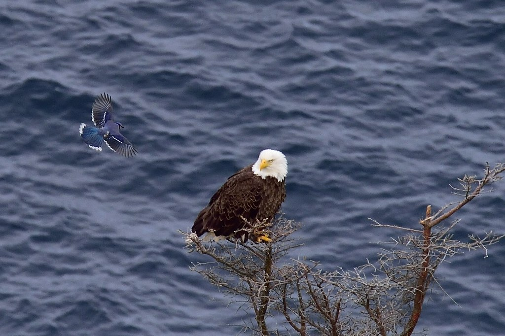 Bad Bold Bluejay Buzzes Bewildered Bald Eagle