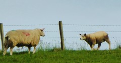 Ewe called for her lamb which obediently came running across the field