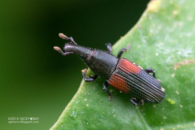 Weevil (Curculionidae) - DSC_4830