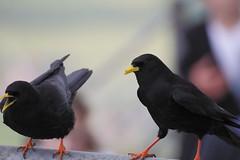 cinclidae(0.0), crow(0.0), acridotheres(0.0), emberizidae(0.0), rook(0.0), animal(1.0), wing(1.0), fauna(1.0), beak(1.0), blackbird(1.0), bird(1.0),