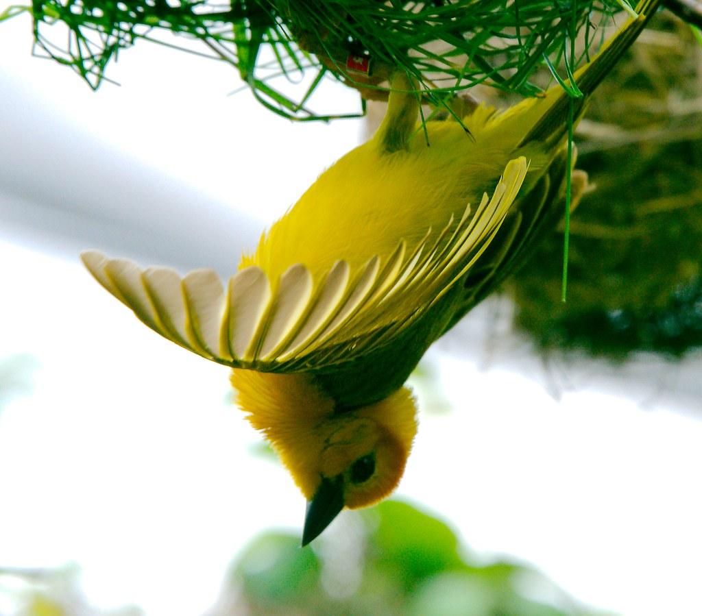 Taveta weaver (Ploceus castaneiceps)_2