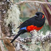 Anisognathus igniventris - Scarlet-bellied Mountain-Tanager - Tangara Ventriescarlata - Tángara Escarlata 11 by jjarango