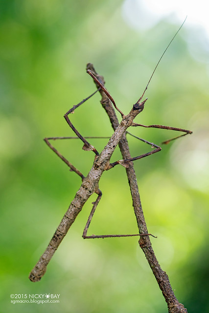 Stick insect (Phasmatodea) - DSC_5438