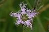 Pracht-Nelke, Oeillet superbe (Dianthus superbus) bei Maloja (Oberengadin) (2015-07-26 -38) by Cary Greisch
