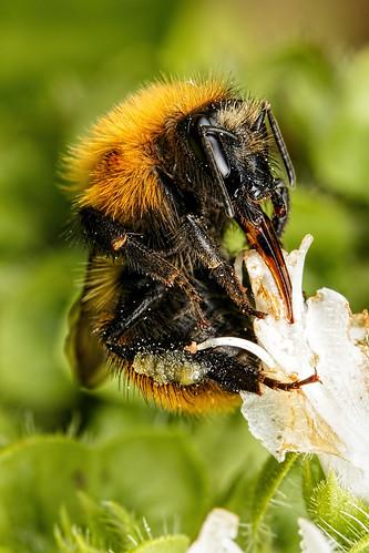 Bumblebee in Basil III