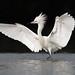 Reddish Egret by PeterBrannon