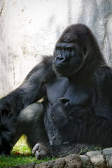 Gorilla Seated and Looking Grumpy