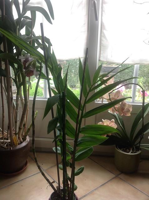 Floraison des orchidées de juin à........... 19333824285_289169c1a4_z