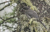 Gray Jay (juvenile) - Perisoreus canadensis