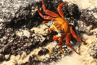 Sally lightfoot crab on Isla Floreana, Galapagos
