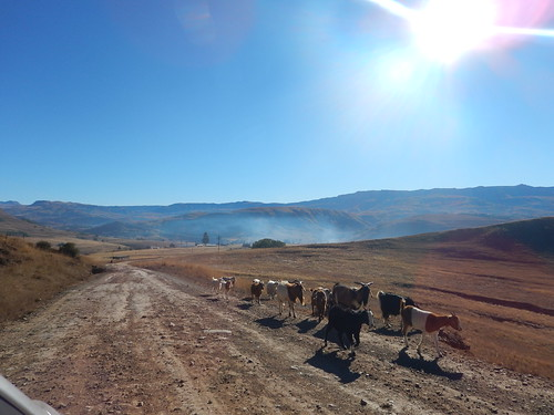 Goats en route, The Drakensberg