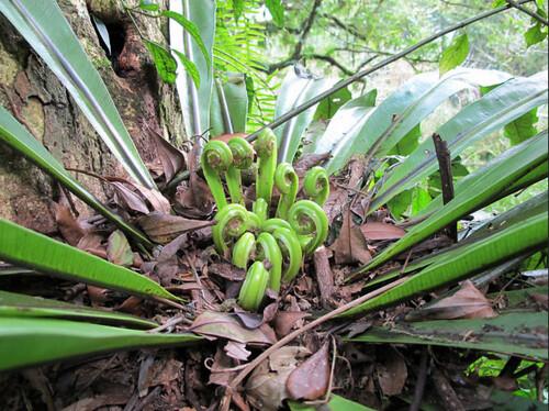 鳥巢狀的山蘇,可以截流降水、落塵以及枯落物,以增加養分水份的來源。圖片攝影:徐嘉君。