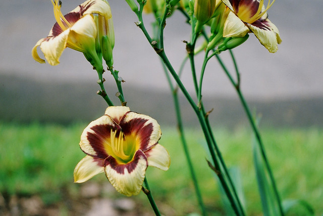 Yellow and purple lilies, redux