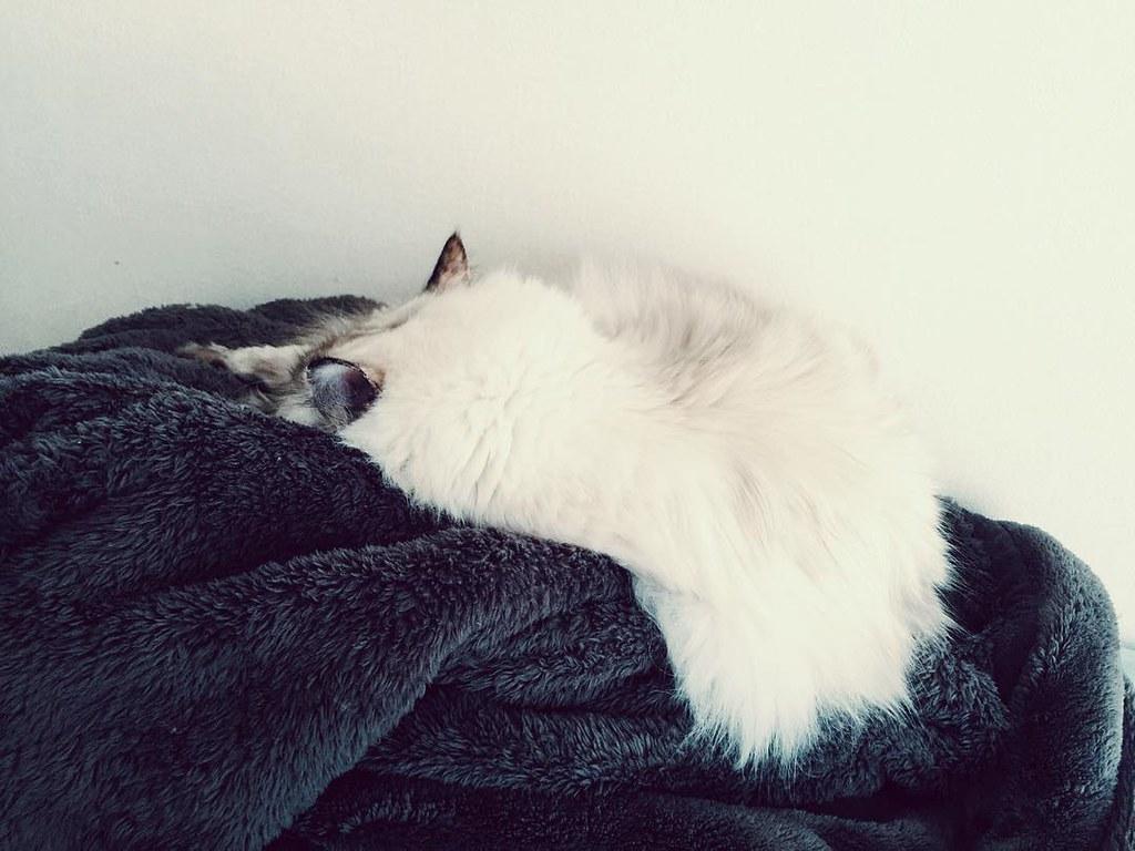 娘猫様の冬のお昼の定位置(毛布でモフモフ)