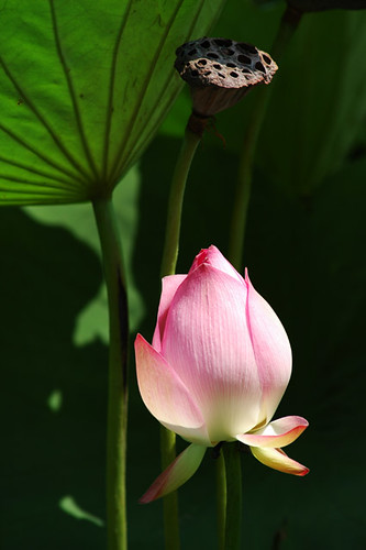 Lotus - Baomo Garden, South China