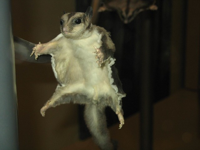 Flying Squirrel, Smithsonian Museum of Natural History, Washington D.C.
