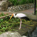Stork at KL Bird Park